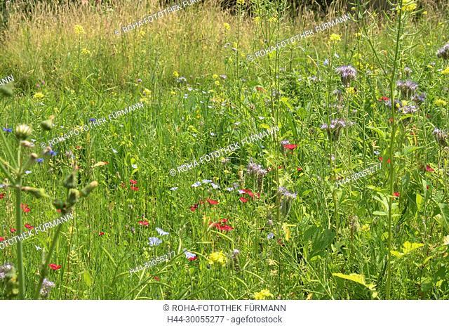 Bayern, Oberbayern, Blumenwiese, Wiese, Blumen, bluehend, blühend