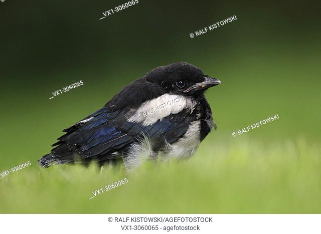 Very young Eurasian Magpie / Elster (Pica pica) sits in green gras on the ground waiting for food, wildlife, Europe.