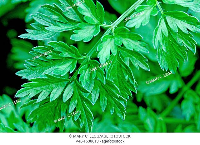 Wild Chervil Anthriscus sylvestris, Cow Parsley  Leaves detail  A large white umbellical with tripinnate leaves  The plant belongs to large family that...