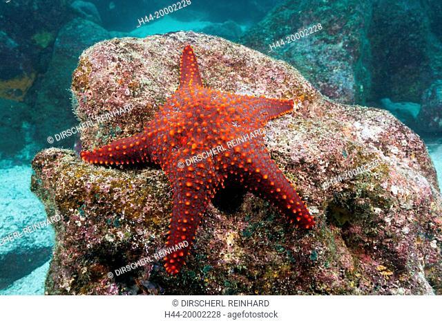 Knobby Starfish, Pentaceraster cumingi, Galapagos, Baltra Island, Ecuador