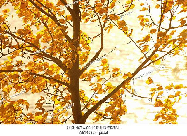Autumn colored birch leaves lit by the morning sun are moving in the wind in front of a glittering lake