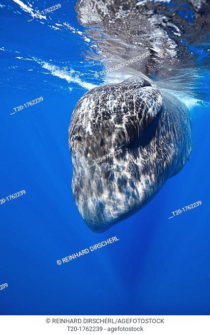 Sperm Whale, Physeter macrocephalus, Caribbean Sea, Dominica