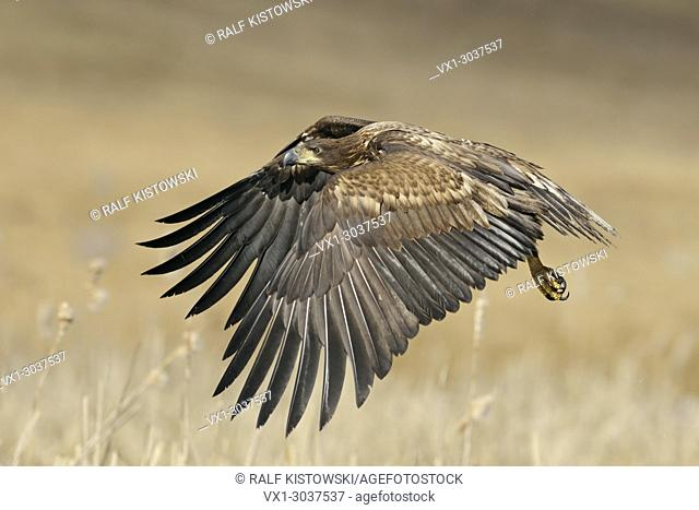 White-tailed Eagle / Sea Eagle ( Haliaeetus albicilla), immature bird of prey, in powerful flight over wet land surrounded by golden reed, wildlife, Europe