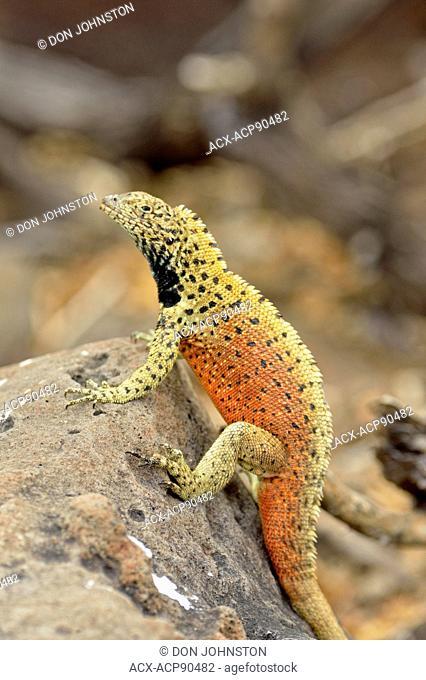Lava lizard (Tropidurus spp.), Galapagos Islands National Park, Espanola (Hood) Island, Punta Suarez, Ecuador