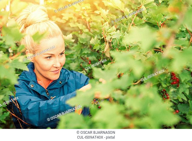 Mid adult woman picking redcurrants