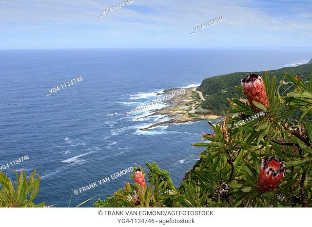 Protea flowers in the foreground with the Tsitsikamma camp in the background