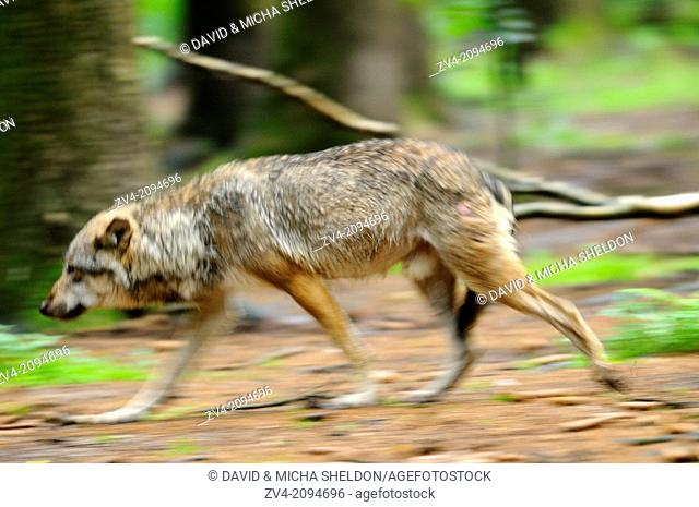 Close-up of a Eurasian wolf (Canis lupus lupus) going through the forest