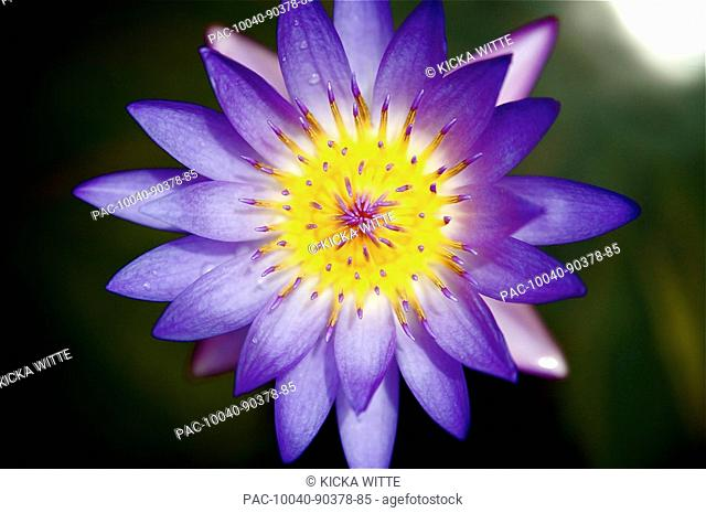 Beautiful Purple Lotus Flower Stock Photos And Images Age Fotostock