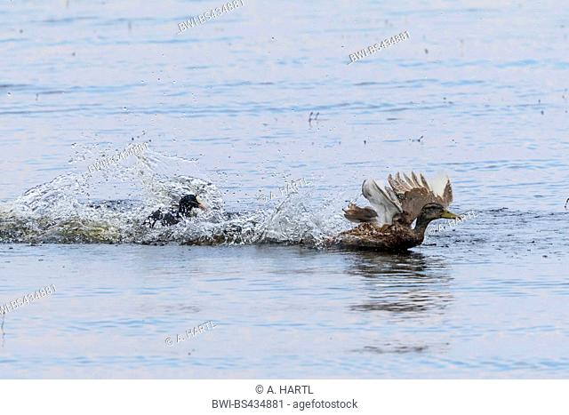 black coot (Fulica atra), blowing off a mallard, Germany, Bavaria, Lake Chiemsee