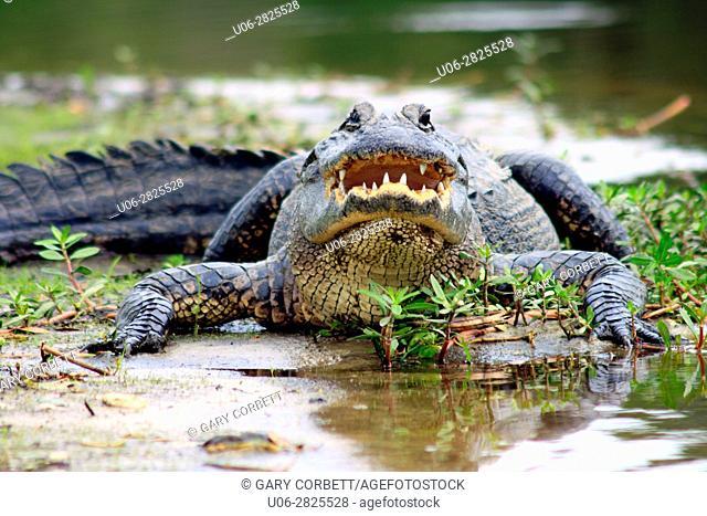 Alligator in the Myakka River State Park, Florida, USA