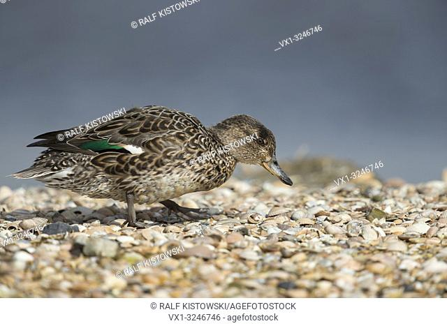 Teal / Krickente ( Anas crecca ), female duck, in breeding dress, walks over a mussel bank, searching for food