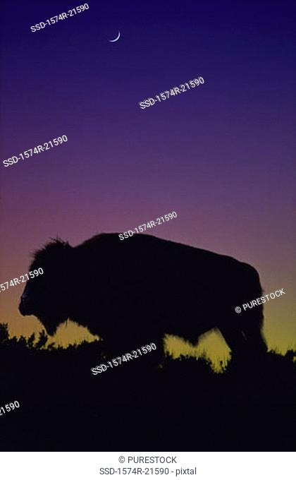 Silhouette of a bison, Yellowstone National Park, Wyoming, USA