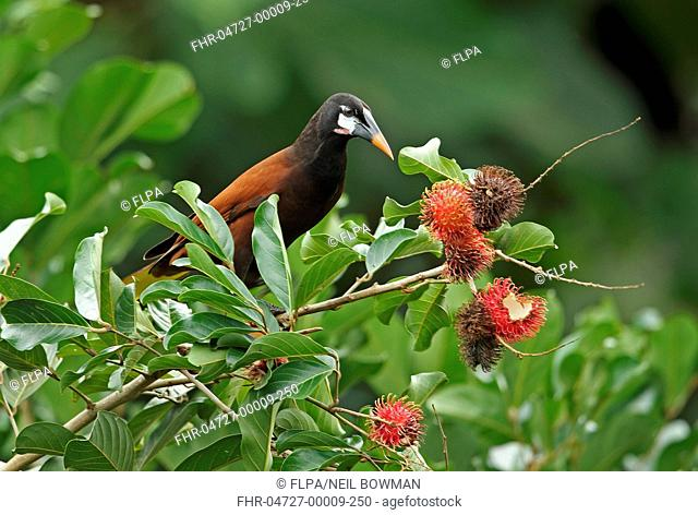 Montezuma Oropendola (Psarocolius montezuma) adult, feeding in fruiting tree, Pico Bonito, Honduras, February