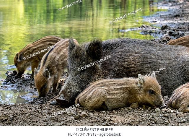 Wild boar (Sus scrofa) sow with piglets sleeping in the mud in spring