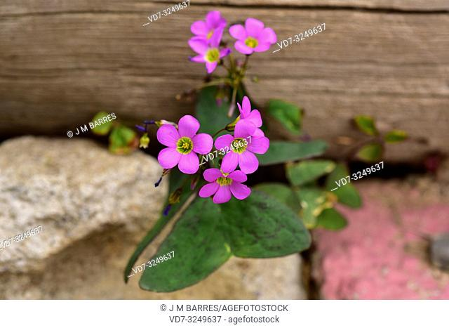 Broadleaf woodsorrel or garden pink-sorrel (Oxalis latifolia) is a perennial invasive herb native to Mexico. This photo was taken in Alt Emporda
