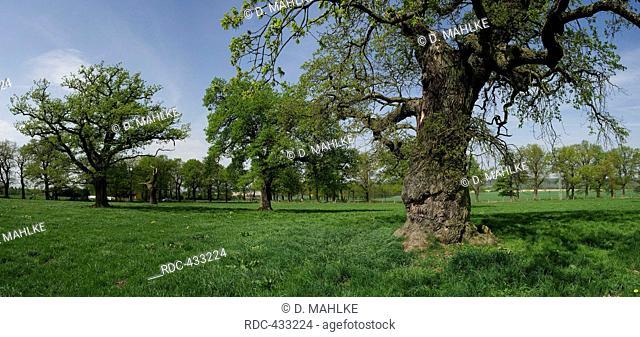 Old oak trees, near Beberbeck, Hesse, Germany