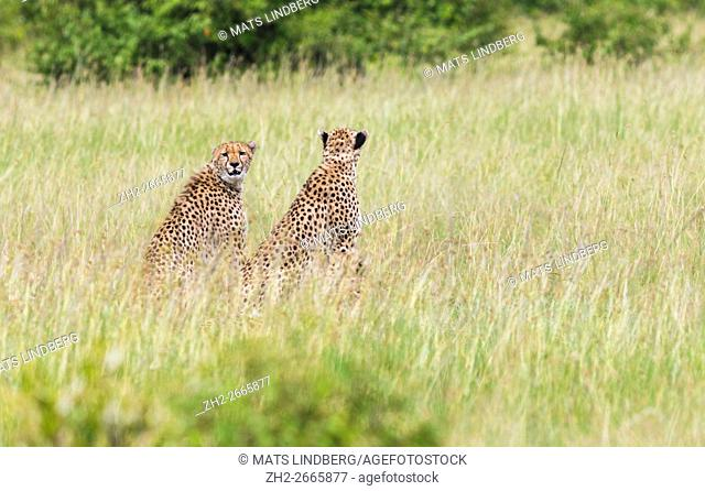 Two cheetahs in Masai mara sitting in the the grass looking at something, one is looking in to the camera, Masai mara, Kenya , Africa