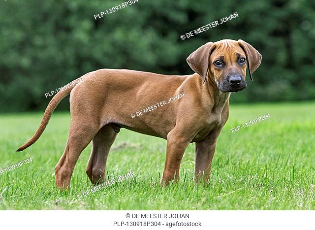 Rhodesian Ridgeback, Stock Photo, Picture And Rights Managed