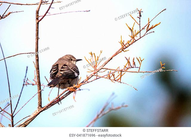 Female pine warbler bird Dendroica pinus with grey and brown feathers perches on a tree branch in Naples, Florida