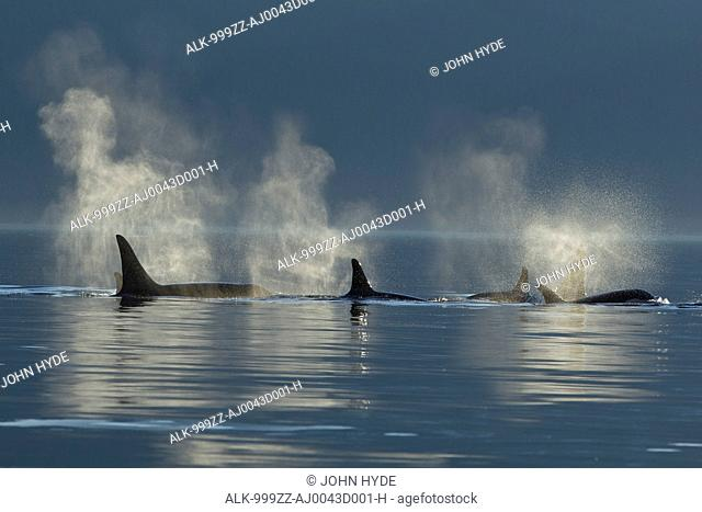 A group of Orca surface in the calm waters of Lynn Canal, Inside Passage, Southeast Alaska, Summer. Composite