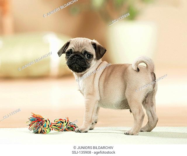 pug puppy with toy restrictions: Tierratgeber-Bücher / animal guidebooks