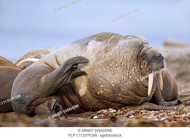 Sleepy male walrus (Odobenus rosmarus) resting on beach and scratching skin with hind flipper, Svalbard / Spitsbergen, Norway