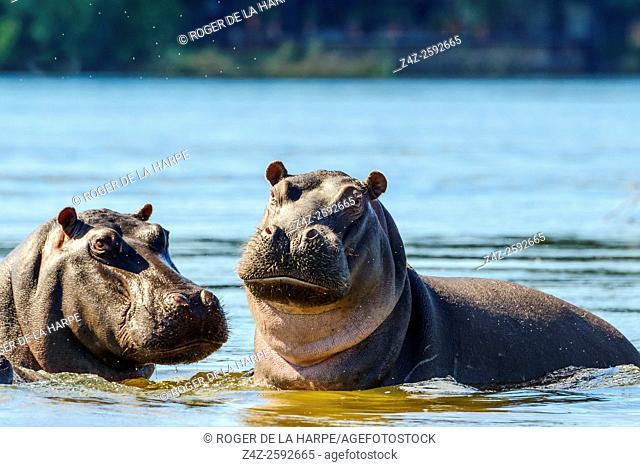 Common hippopotamus or hippo (Hippopotamus amphibius). Victoria Falls. Zambia