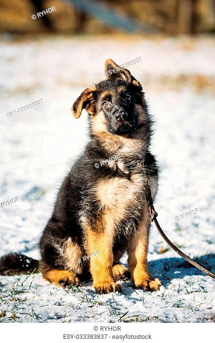 Young Brown German Shepherd Puppy Dog outdoor at winter season
