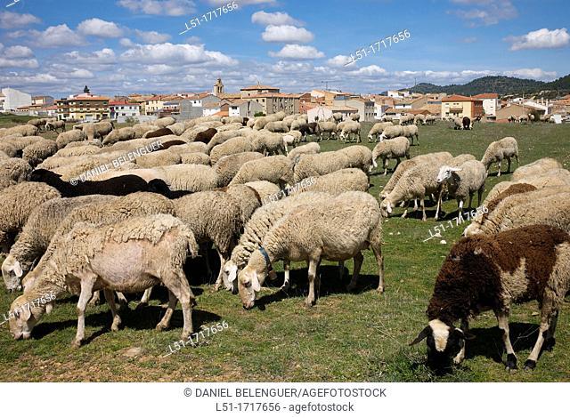 Sheep flock in Talayuelas, Cuenca, Spain