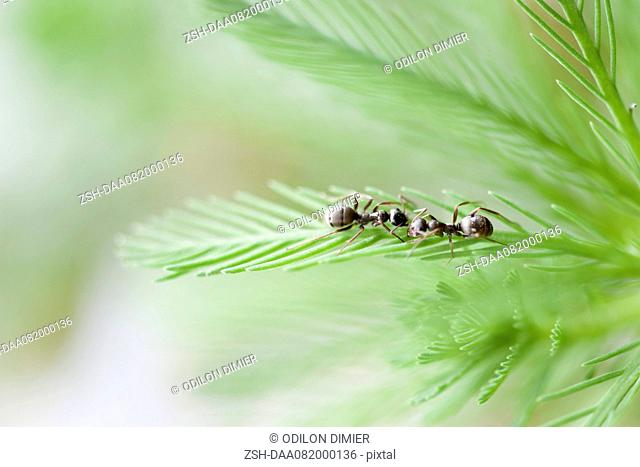 Ants on parrotfeather plant