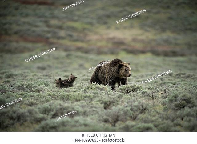USA, Wyoming, Grand Teton, National Park, Grizzly mom with cubs, (m)