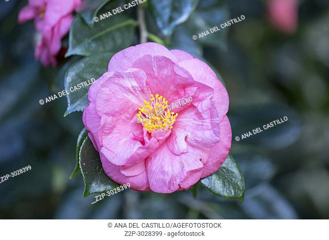Vegetation in Terra Nostra park Furnas Sao Miguel island. Azores, Portugal. Camellia flowers