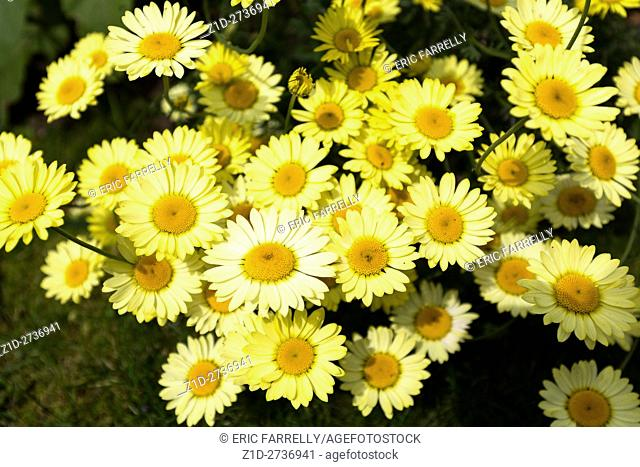 Shasta daisy or Marguerite daisies, in garden. England UK. Latin name : Leucanthemum superbum, . Family name : Asteraceae/Compositae
