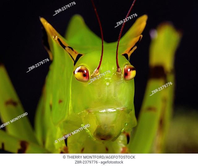 Big grasshopper larva. Rainforest. French Guiana