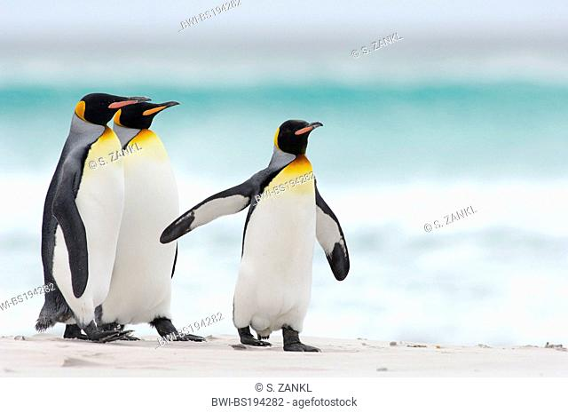 king penguin (Aptenodytes patagonicus), group of penguins walking along the beach, Falkland Islands, Volunteer Point