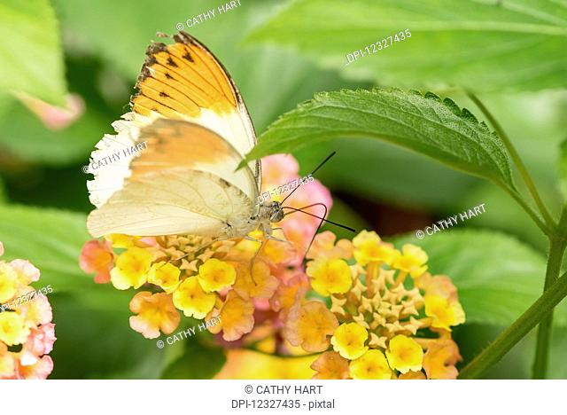 Victoria butterfly garden Stock Photos and Images | age fotostock