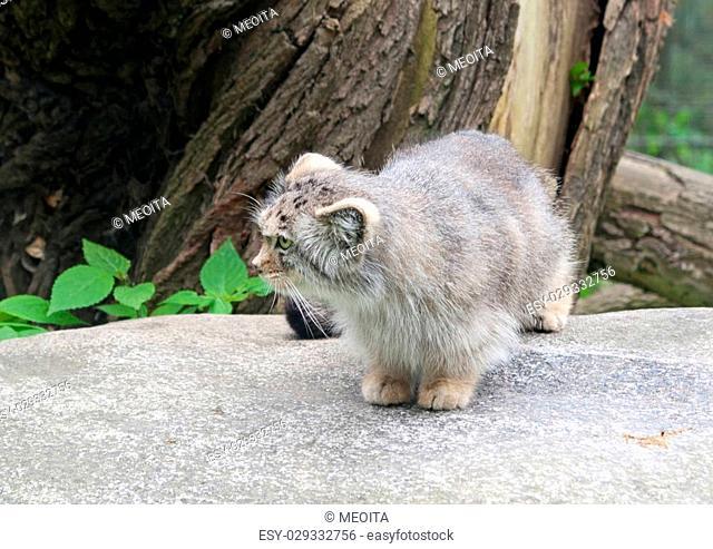 A pallas's cat (Otocolobus Manul)