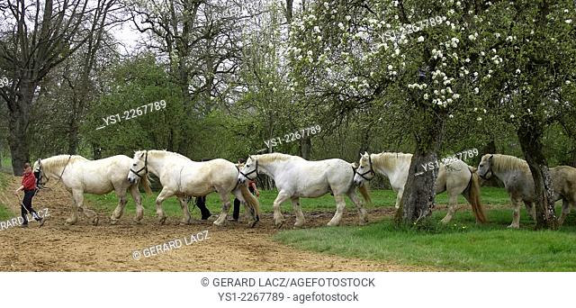Percheron Draft Horses, a French Breed, Training for Equestrian Show