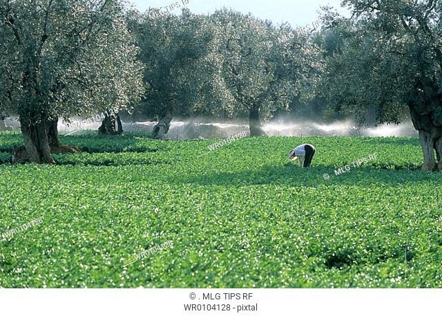 Italy, Apulia,woman working in field