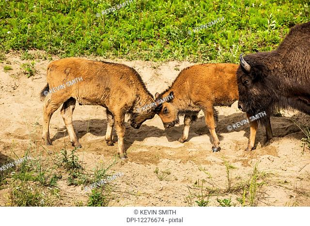 A group of Buffalo with newborn calves alongside the Alaska Highway north of Liard Hot Springs, British Columbia, Canada, Summer