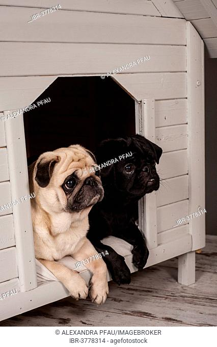Beige and Black Pugs in a kennel