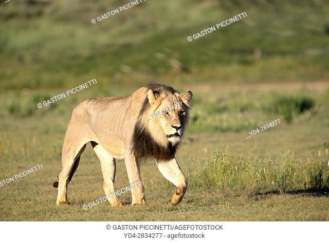 African lion (Panthera leo) - Male, in the bush, Kgalagadi Transfrontier Park, Kalahari desert, South Africa/Botswana