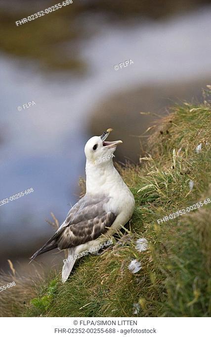 Northern Fulmar Fulmaris glacialis adult, calling, sitting on cliff edge, Farne Islands, Northumberland, England