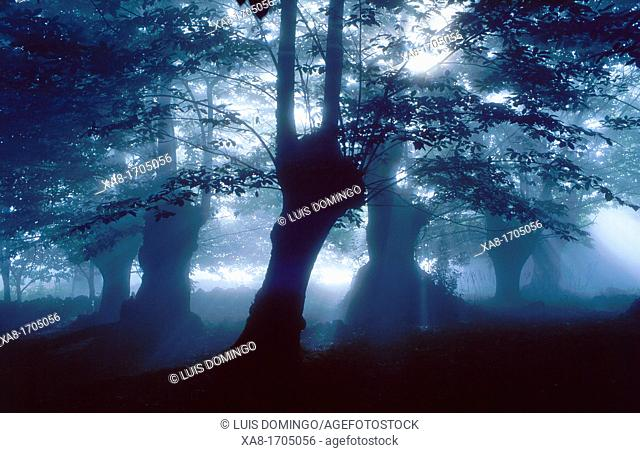 Misty forest, Galicia, Spain