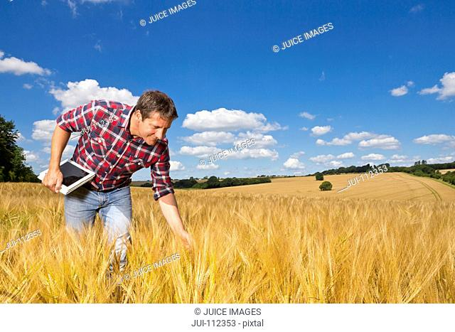Farmer with digital tablet bending to examine sunny rural barley crop field in summer