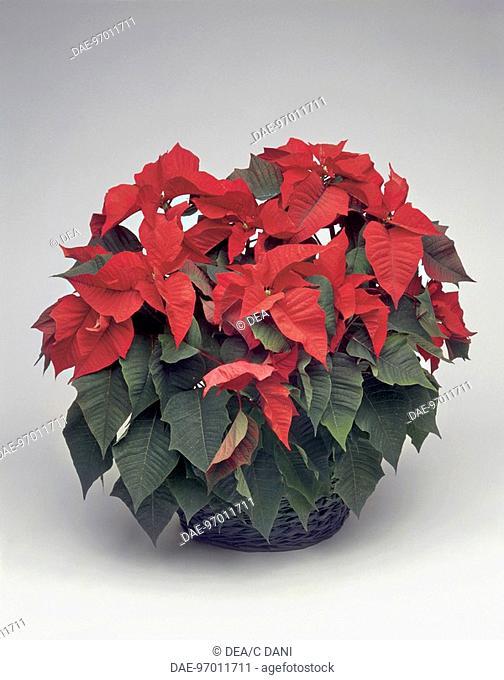 Houseplants - Euphorbiaceae. Poinsettia (Euphorbia pulcherrima)