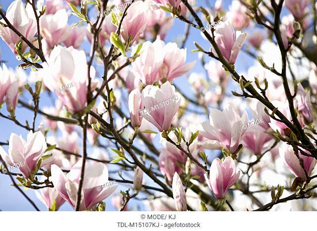 A magnolia tree in flower