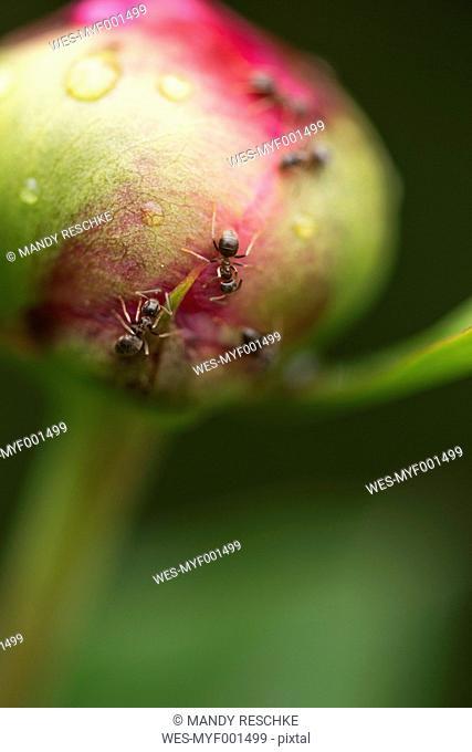 Ants on bud of peony