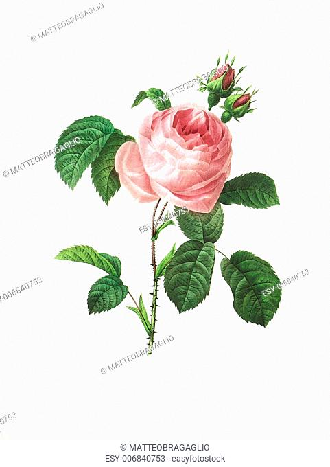 Antique illustration of a rosa centifolia engraved by Pierre-Joseph Redoute (1759 - 1840), nicknamed The Raphael of flowers