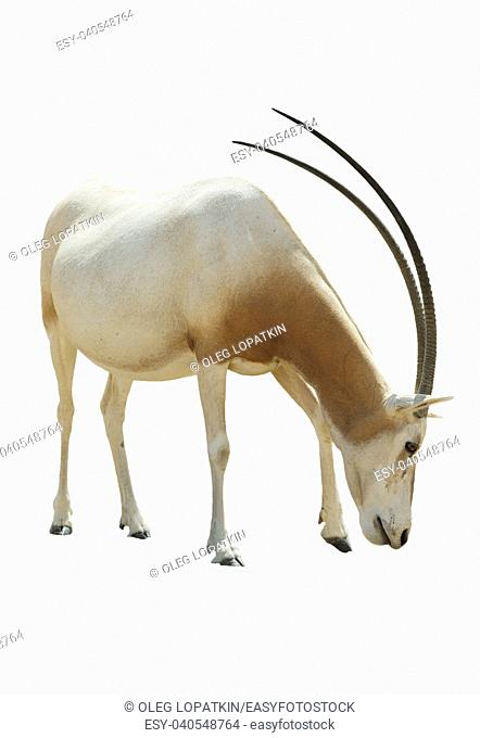 Beautiful Addax isolated on white background